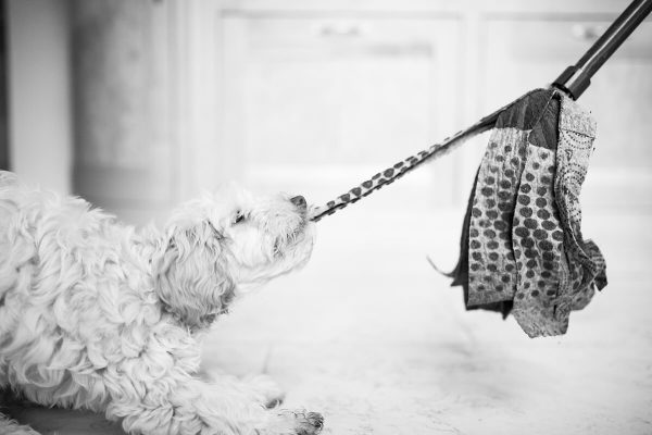 A fun image of a Cockapoo puppy playing with a mop