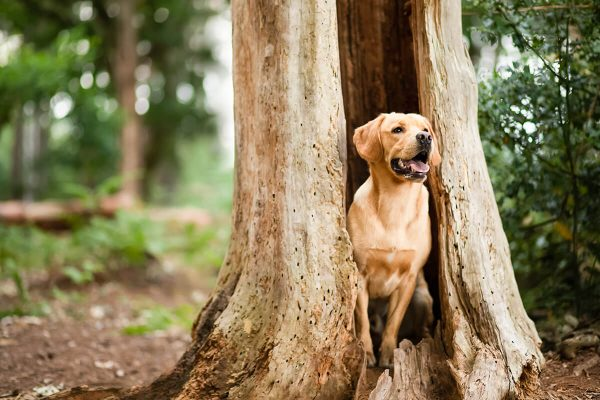 An image of a golden retriever inside a hollow tree trunk at Chicksands woods